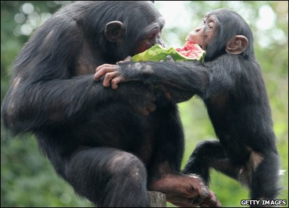 Two chimps enjoy a piece of watermelon in Taronga zoo in Australia.
