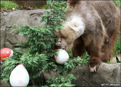 Bear plays with Christmas decorations at Taronga zoo in Australia.