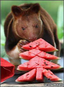 Tree kanagaroo enjoys a Christmas tree shaped piece of watermelon in Taronga zoo in Australia.