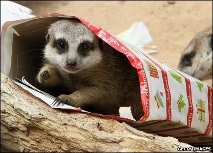 Meerkat enjoys a Christmas box in Taronga zoo in Australia.