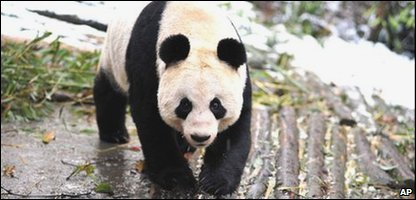 Tian Tian the giant panda was born in 2003 and will soon be living in Edinburgh