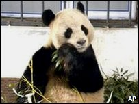 Yangguang the panda
