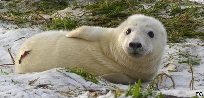 Baby seal on the Farne Islands