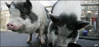 Vietnemese pot-bellied pigs similar to those which escaped