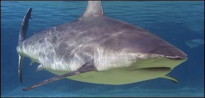 Researchers examined 17 species, including bull sharks, like this one.