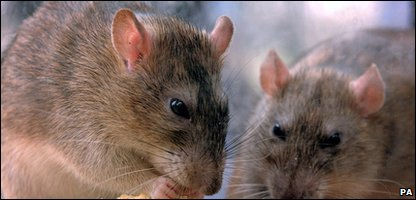 Rats like these have been spotted outside Downing Street.