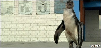 Lost penguin ends up in police custody