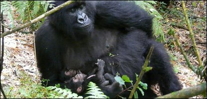 The mountain gorilla twins with their mum Kabatwa
