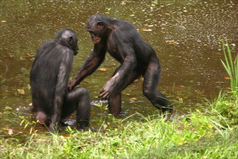 Bonobos monkeys sexuality
