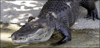 An Alligator found behind a sofa in Brazil was a bit smaller than this fella