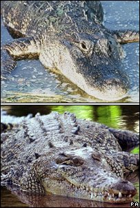 Croc and Alligator