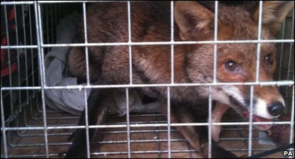 Romeo the fox cub, who was rescued from the top of the Shard Building in London
