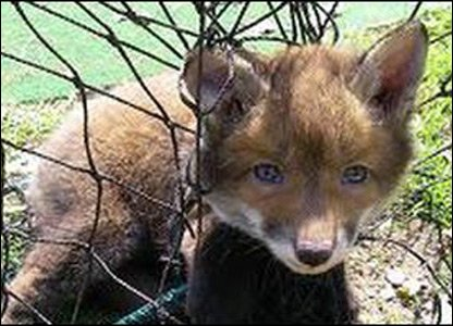 Fox stuck in et found by the RSPCA