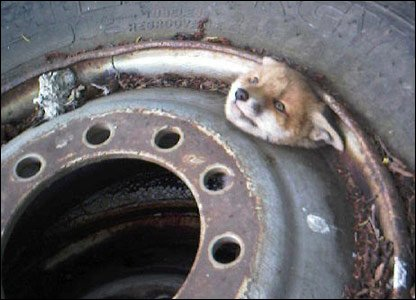 The fox cub with its head stuck in the wheel