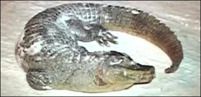 The frozen crocodile that was found in the Mazury Forest in Poland