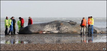 Investigators looking at the sperm whale that died after being washed up at Pegwell Bay in Kent