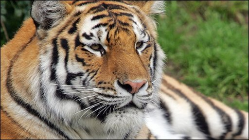 An example of a Siberian tiger