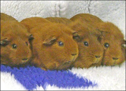 Some of the ginger guinea pigs that were taken to the Blue Cross adoption centre in Oxfordshire to be rehomed