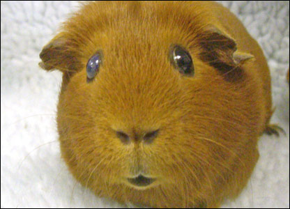 One of the ginger guinea pigs that was taken to the Blue Cross adoption centre in Oxfordshire to be rehomed