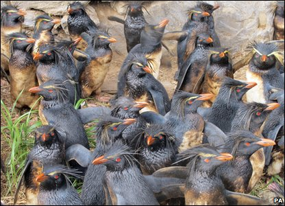 Rockhopper penguins on Nightingale Island.
