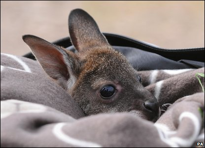 Wallaby joey Pip peeks out of her rucksack at Whipsnade Zoo in Bedfordshire.