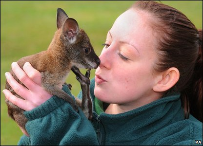 Wallaby joey Pip with zoo keeper Alex at Whipsnade Zoo in Bedfordshire.
