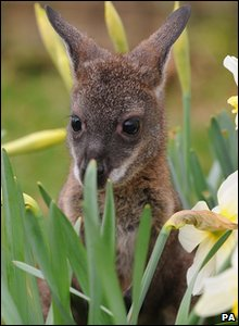 Wallaby joey Pip playing in the daffodils at Whipsnade Zoo in Bedfordshire.