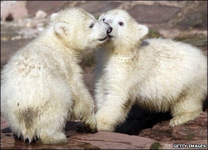 Polar bear twins Gregor and Aleut cuddling