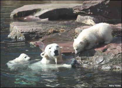 Polar bear twins Gregor and Aleut having a swim with their mother.