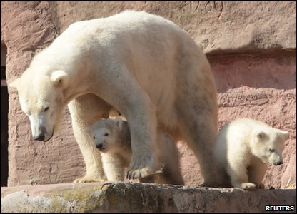 Polar bear twins Gregor and Aleut with their mother.