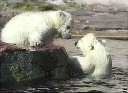Polar bear twins Gregor and Aleut having a swim.
