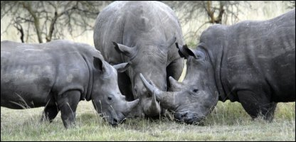 White rhinoceroses in Africa