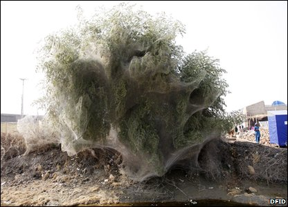 A tree covered in spiderwebs in Pakistan - an unexpected side effect of the floods there