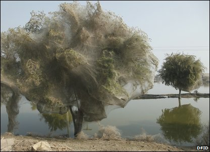 Trees covered in spiderwebs in Pakistan - an unexpected side effect of the floods there