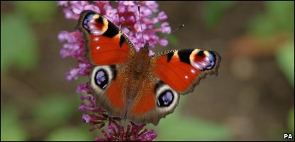 A Peacock butterfly sitting on a Buddleia
