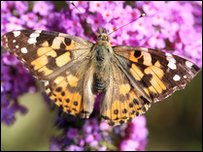 A painted lady butterfly feeding on buddleia