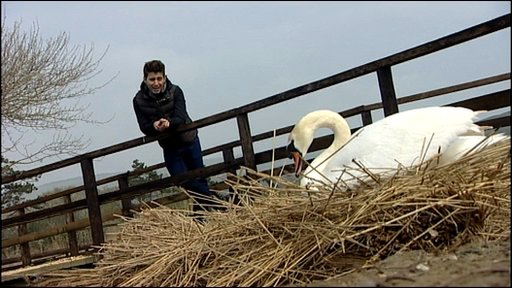 Ricky helps build a swan's nest on Chesil Beach