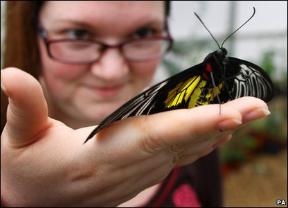600 hundred live butterflies arrive for the upcoming Sensational Butterflies exhibition in London.