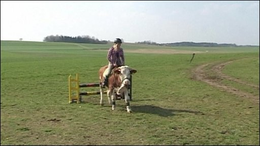 cow show jumping