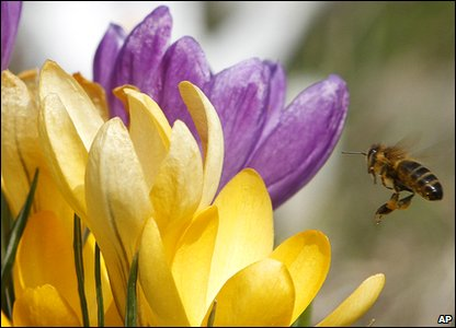 Bee flying to a crocus flower
