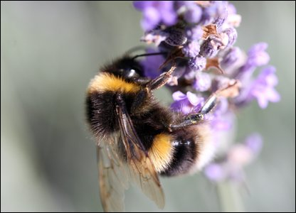 Bumblebee feeding on lavender