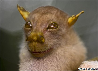A rare fruit bat from Papua New Guinea looks like Yoda!