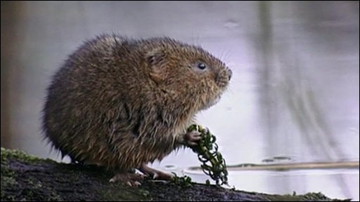 Water vole by a river