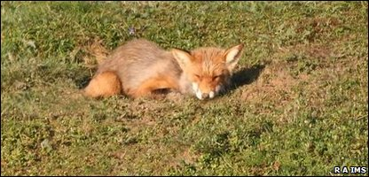 A red fox in north Russia