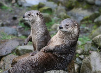 Otters Lewis and Isla