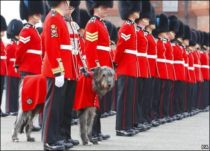 Conmael, the Irish Wolfhound mascot lining up with the guardsmen of the Irish Guards