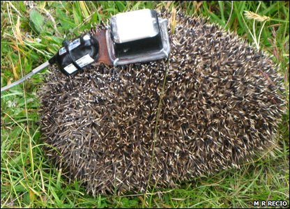 Hedgehog with a GPS backpack