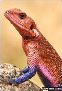 Agama lizard in Tanzania in Africa