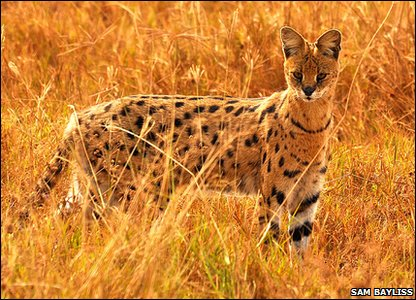 A serval cat in Tanzania in Africa