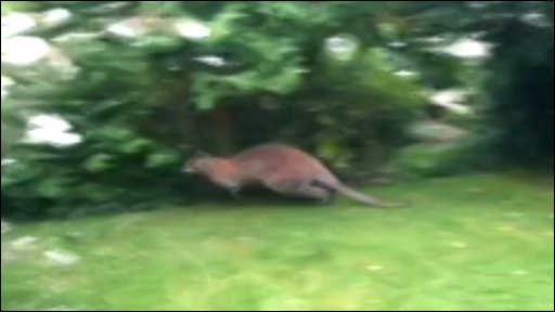 Wallaby in UK garden